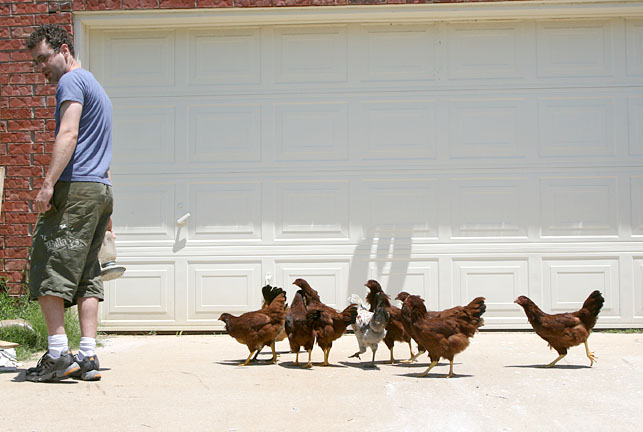Ben Starr and his backyard flock of urban chickens