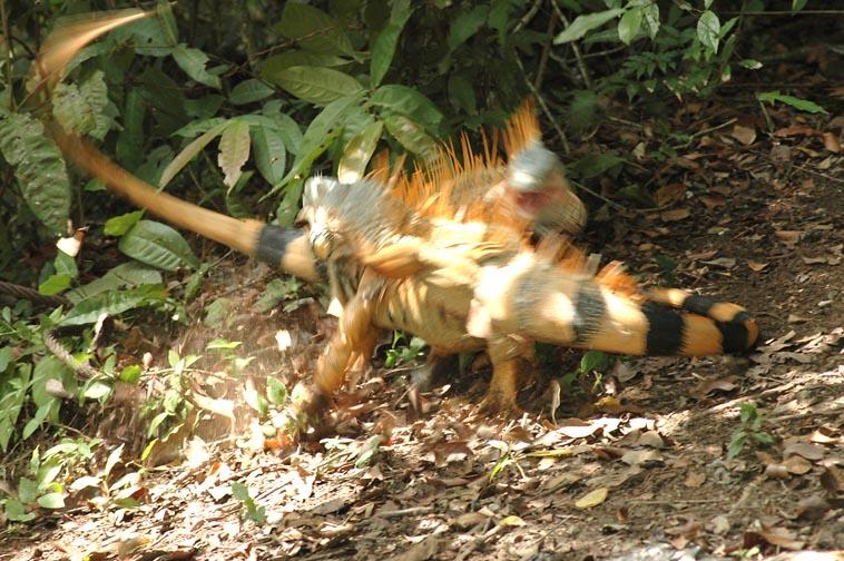 Wild Iguanas Fighting in Belize