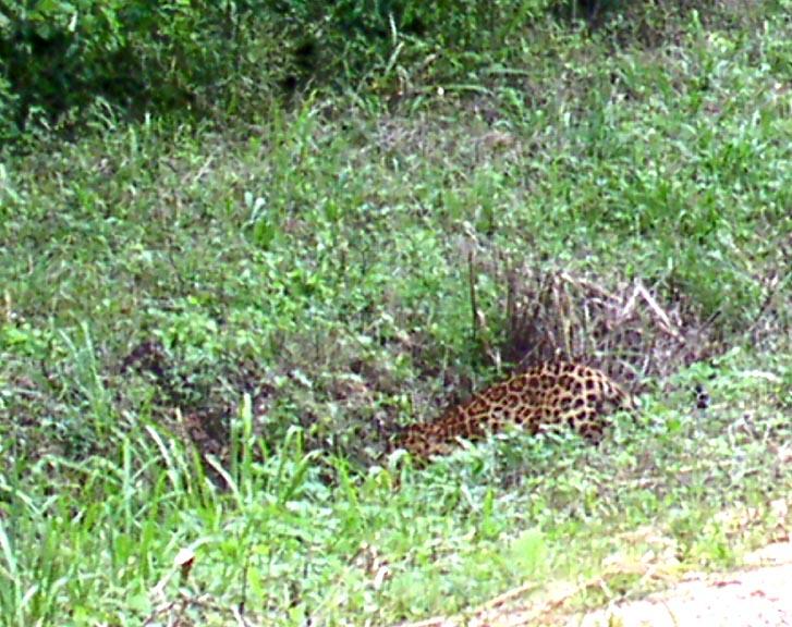 Jaguar in Belize at Caracol