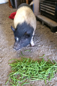 Mona's pig Lola, the namesake of Lola's Local Produce, enjoying some local produce